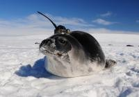 Mysterious holes in Antarctic sea ice explained by years of robotic data