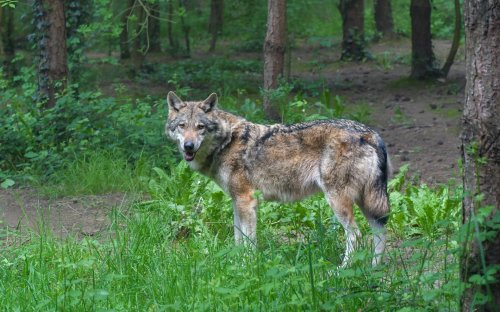 Coalition seeks reinstatement of federal wolf protections | Earth Day