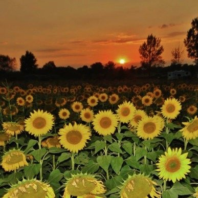 Confused sunflowers during eclipse?   Today's Image   EarthSky