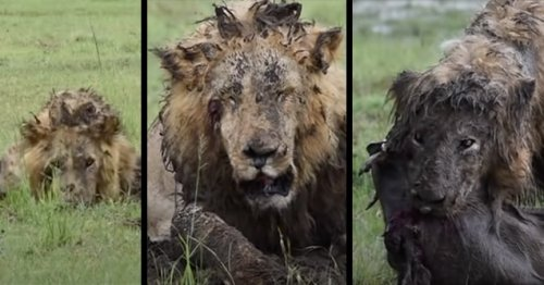 Lion Needs to Be Checked for Steroids after 7-Hour Dig, Feeds on Warthog