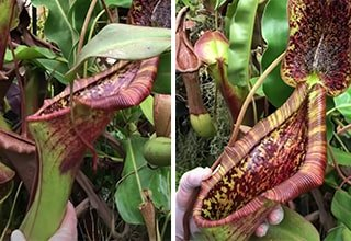 Pitcher Plant Absolutely Devours Rodent, Leaves Crumbs Behind
