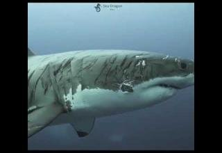 Immense Great White is Covered in Battle Scars