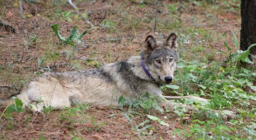 California's Central Coast Welcomes First Gray Wolf in More Than 100 Years