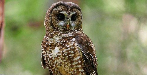 ENDANGERED SPECIES: Internal doc: Trump admin overrode scientist on owl habitat