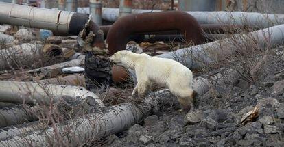 Hallado un oso polar hambriento en una ciudad rusa a 800 kilómetros de su hábitat natural