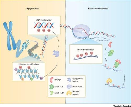 Crosstalk between epitranscriptomic and epigenetic mechanisms in gene regulation