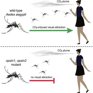 Elimination of vision-guided target attraction in Aedes aegypti using CRISPR