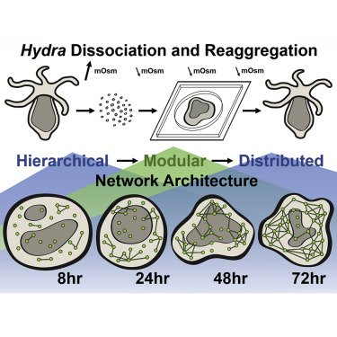 Ensemble synchronization in the reassembly of Hydra's nervous system