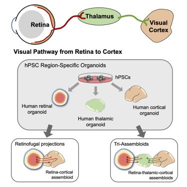 Extension of retinofugal projections in an assembled model of human pluripotent stem cell-derived organoids