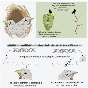 A multispecies BCO2 beak color polymorphism in the Darwin's finch radiation