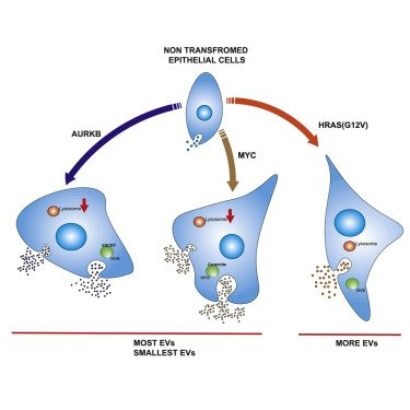 Oncogene-regulated release of extracellular vesicles