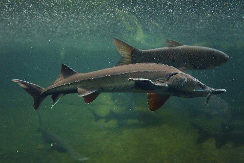 Romania bans fishing and sale of wild sturgeon indefinitely
