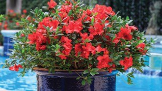 Encore® Azaleas in Containers – Helpful Ideas to Create the Best Show