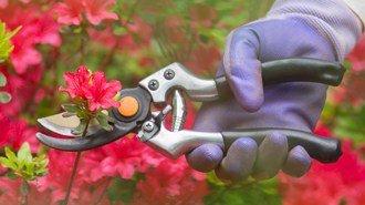 Pruning Encore® Azaleas