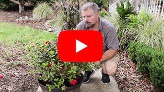 Video: How to Container Plant Encore Azaleas