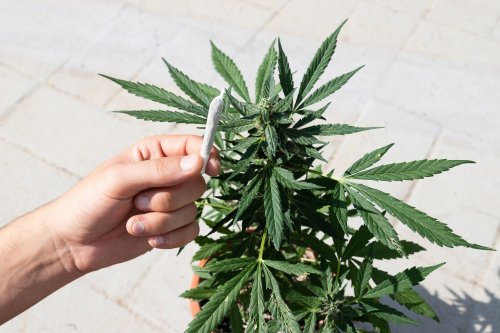 Yes, There's Probably Too Much THC in Your Marijuana