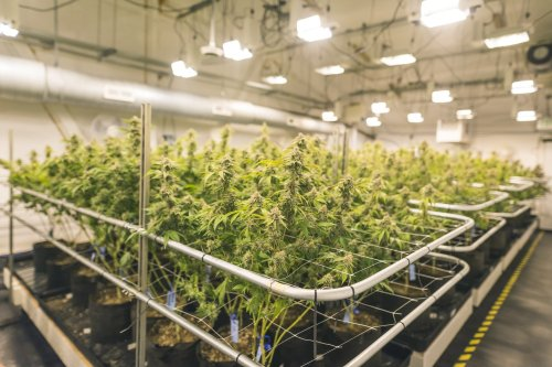 Building Indoor Weed Growing Facilities That Push the Envelope For Efficiency