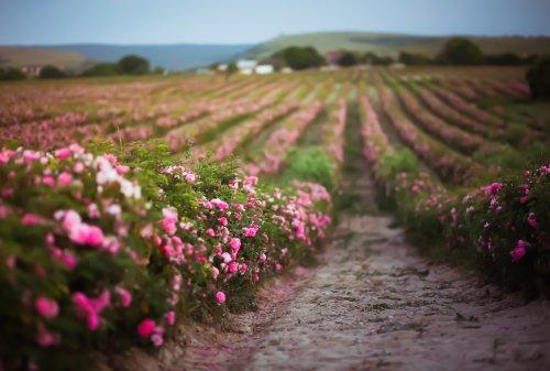 Klassik des Tages: Rosen aus dem Süden