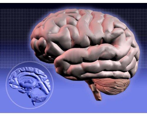 CIENCIA: estudio de mini cerebros cultivados resuelve el misterio de por qué nuestro cerebro adquirió su gran tamaño