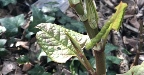 Map shows the Essex Japanese Knotweed hotspots seeing outbreaks