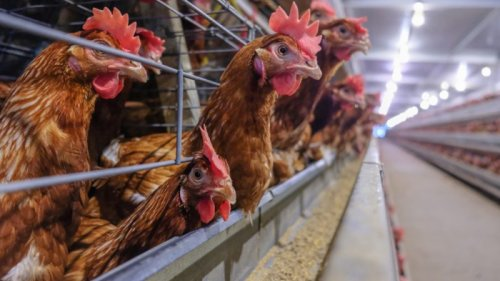 L'Allemagne veut devenir leader européen en matière de bien-être animal