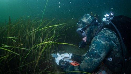 Seagrass Meadows Act As Vibrio Catchers