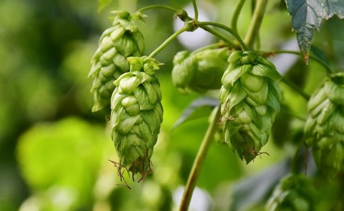 Compounds Derived From Hops Show Promise As Treatment For Common Liver Disease