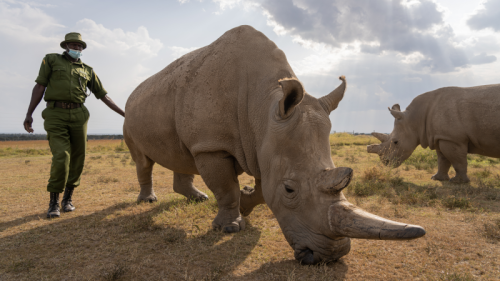 BioRescue Consortium Ceases Egg Harvesting On One Of Two Northern White Rhinos Following Ethical Risk Assessment