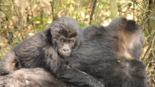 Hope For Critically Endangered Gorillas In Eastern DRC