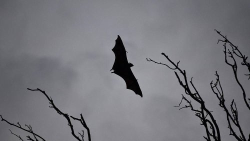 Nipah virus could cause another deadly pandemic, warns the inventor of AstraZeneca's COVID vaccine