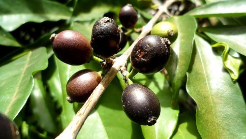 New climate-resistant coffee bean discovery has 'superior flavour'