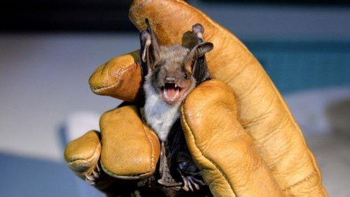 Von Fledermaus gebissen: Mann stirbt an Tollwut