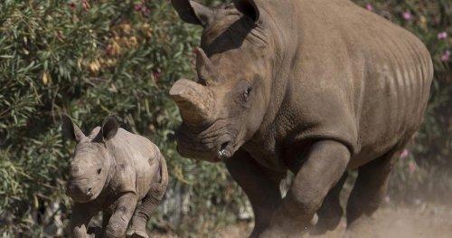 Afrique du Sud : hausse du nombre de rhinocéros tués en 2021 | Africanews