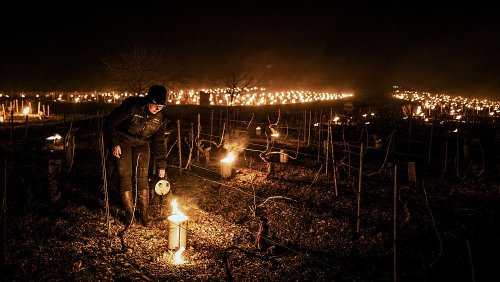 French winemakers light candles in vineyards to try and save fruit from frost