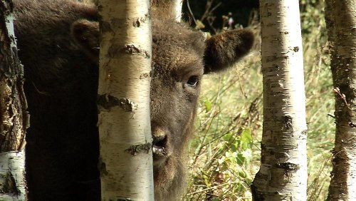 Bears, bison and wolves: Rewilding Romania to better cope with climate change