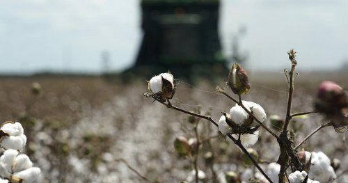 Plentiful cotton harvest spells trouble for Egypt's food security   Africanews