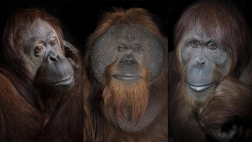 Orangutan portraits capture the humanity of the critically endangered species