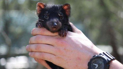 First Tasmanian devil babies born on mainland Australia in 3,000 years