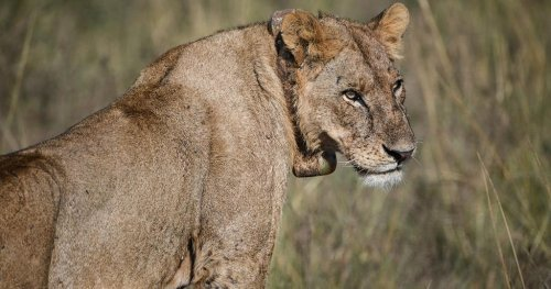 Kenya: panic as lion strays outside Nairobi National Park for a few hours | Africanews