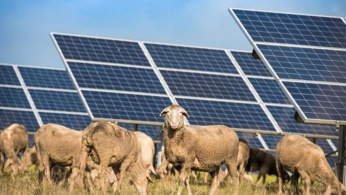 Clean energy and clean edges: the lawn-mowing sheep that work at a solar farm