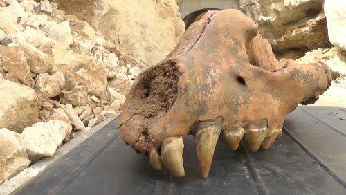 Schädel von prähistorischer Riesenhyäne entdeckt