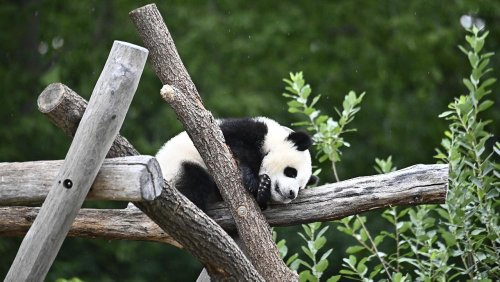 Panda conservation causing leopards and wolves to disappear, study says