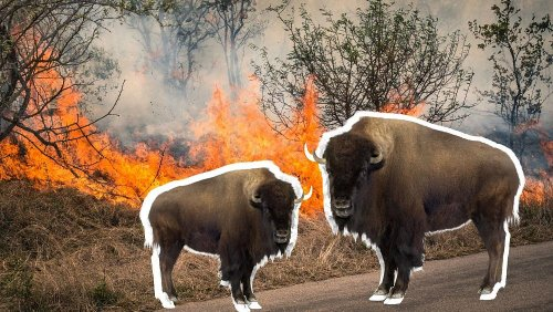 Bison could be the 'natural firefighters' we need to tackle wildfires
