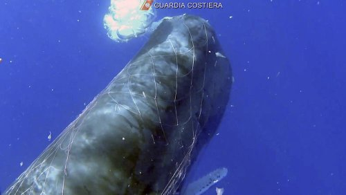 Italy's Coast Guard rescuing sperm whale entangled in fishing net off Sicily coast