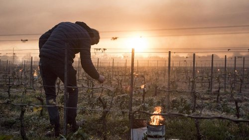 Climate change 'a factor' in frost that decimated France's vineyards, say scientists
