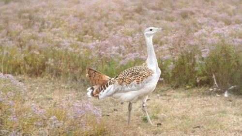Masten weg! Freie Bahn für Europas schwersten flugfähigen Vogel
