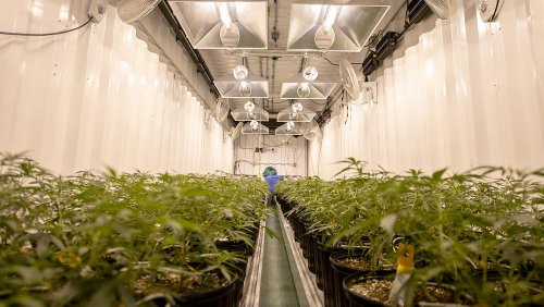 Is cannabis farming destroying the planet?