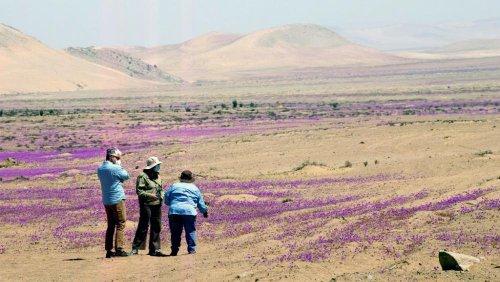 Floraison du désert Atacama : les scientifiques s'inquiètent d'un projet local