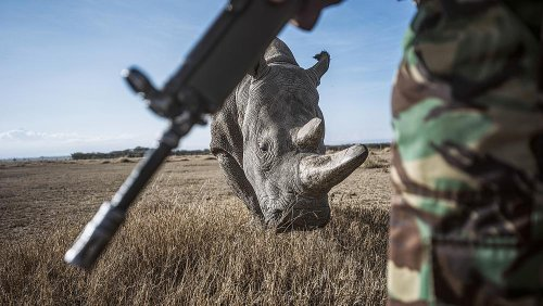 Guardians of the northern white rhino: The world's most endangered species