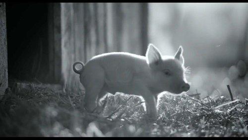 'Gunda', una historia de amor por los animales de la granja realizada por un vegetariano